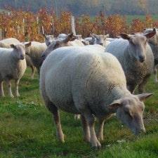 Demi agneau plein air